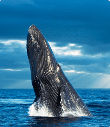 Whale breaches from the ocean